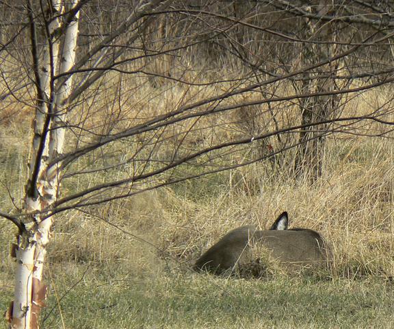 Deersleeping7x6