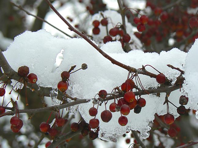 Crabapple&snow