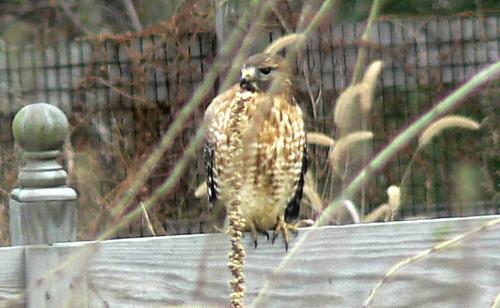 Hawk (Cooper's?)