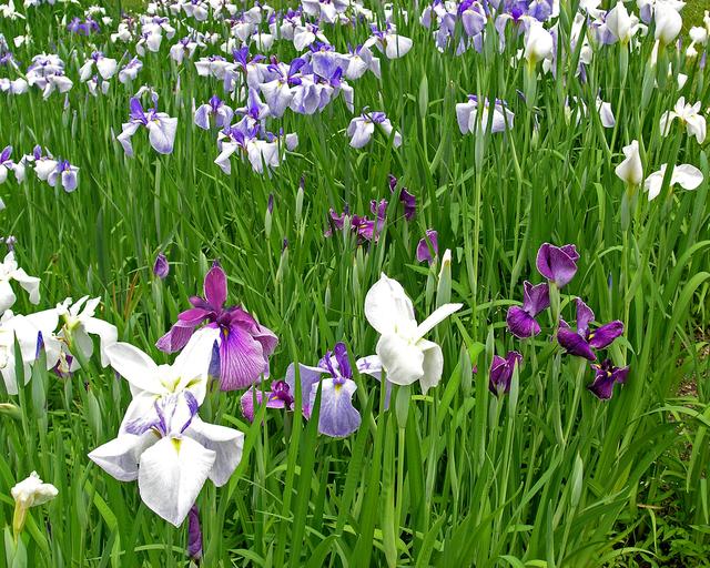 Japanese iris bordering the lake