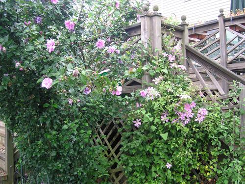 my garden  clematis  u0026 39 comtesse de bouchard u0026 39  and rose of sharon