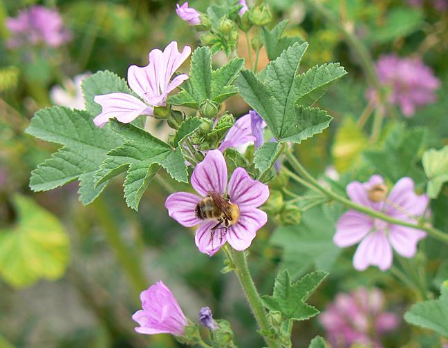 Honeybeeinmalvacrop9x7