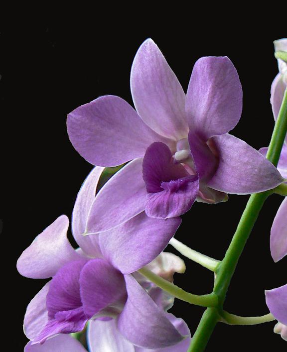 Orchidonblackcrop8x10