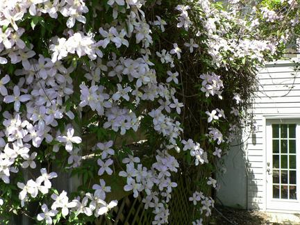 My clematis Montana 'Rubens' is in full-bloom on my deck.
